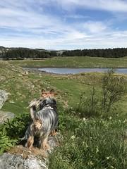 (knuthelgeland) Tags: avaldsnes karmsundet hicking walk dog bukkøy terrier silky