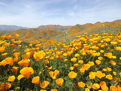 California poppies (h willome) Tags: 2019 california lakeelsinore walkercanyon wildflowers superbloom