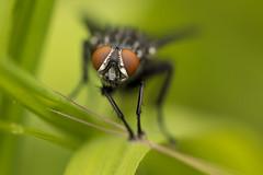 The eye of the Fly (Sebo23) Tags: makro macro makrofotografie fly fliege insekt insect nature naturaufnahme natur nahaufnahme canoneosr canon10028l closeup bokelisious bokeh
