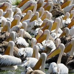 pushkar pelicans (gerben more) Tags: pelican india pushkar rajasthan bird