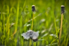 Gone with the Wind (Prespective) Tags: activeassignmentweekly aaw flower dandilion green white stalks grass wind bestofweek1