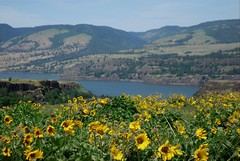Tom McCall Nature Preserve (pris matic) Tags: tommccallnaturepreserve rowenaplateau columbiarivergorge oregon wildflowers columbiariver washington thegorge yellowarrowleafbalsamroot balsamroot