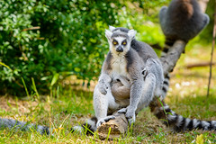 Lemur (Mathias Appel) Tags: nikon d7100 madagaskar madagascar lemur lemurs animals animal tier tiere nature natur bokeh zoo tierpark germany fur fell eye eyes cc0 public domain endangered