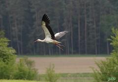 Adebar im Flug... (peterphot) Tags: storch adebar natur wildlife sony franken mai2019 tamron600