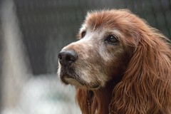 Time is the most valuable thing a man can spend.  Theophrastus (Melinda G Pix) Tags: canine animal olddog pet dog redhead irishsetter