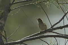 Reed Warbler (Hatsofe B) Tags: reedwarbler wildlife birdsofsong manualfocus rawtherapee