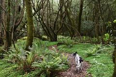 curvy leafy world (Claudia Künkel) Tags: oregon woods forest blanca dog bordercolliemix spring