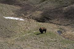 Timbergulch Trail, Grasslands - DSC_3514a (Markus Derrer) Tags: timbergulch markusderrer grasslandsnationalpark grasslands saskatchewan may ravine gully bison