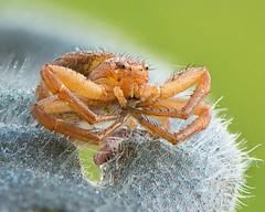 Spider (ÖnerbÜyÜkyildiz) Tags: nikkor105mm d7200 nikon focusstack stack focus macro spider