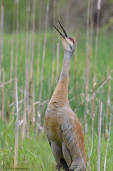 Sandhill Crane calling. (69) (Estrada77) Tags: bigbirds sandhillcrane birds birding nature nikon nikond500200500mm cookcounty illinois wildlife outdoors spring2019 may2019