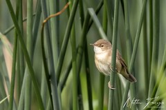 Reed Warbler (Acrocephalus scirpaceus) (PhasmatosOculus) Tags: may 2019 may2019 bird birds rivernene barnwellcountrypark barnwellpark barnwell country park northamptonshire wildlifeanimal wildlife animal animals wildlifeanimals matthewfarrugia matthew farrugia centricmalteser canon6dmkii canon 6d mkii eos6dmkii canoneos6dmkii eos canoneos eastanglia 6dmkii phasmatosoculus reedwarbler acrocephalusscirpaceus reed warbler acrocephalus scirpaceus