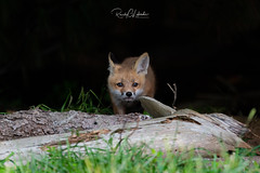 Red Fox - Vulpes vulpes   2019 - 3 (RGL_Photography) Tags: carnivora fox foxkits gardenstate jerseyshore kits monmouthcounty mothernature newjersey nikond5 nikonafs600mmf4gedvr redfox us unitedstates vulpesvulpes wildkingdom wildlife wildlifephotography