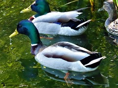 Mallards, Drakes & Duck (camerapoetry) Tags: mallards drakes ducks lake chorltonwaterpark manchester england uk urbanenvironment parklife parkland urban fauna