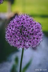 Flowers (Kamil Nikodem) Tags: flowers bee flower garden poland polska sony sonyalpha ladybug green leaf