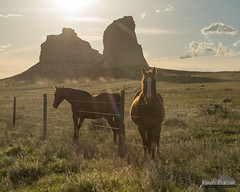 Friendly Nebraska Horses (kevin-palmer) Tags: may spring nebraska nikond750 bridgeport courthouseandjailrocks horses animals evening gold golden sunlight bluff rockformation clouds fence barbedwire tamron2470mmf28 dust backlit backlight