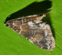 Many colour moth Elophila sp aff responsalis Crambidae Airlie Beach rainforest P1140159 (Steve & Alison1) Tags: many colour moth elophila sp aff responsalis crambidae airlie beach rainforest