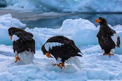 Gathering of Eagles (chasingthelight10) Tags: travel photography landscapes snowscenes places japan hokkaido yudanaka wildlife steller'sseaeagle