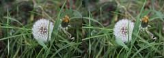 Dandelion (wi-photos) Tags: dandelion plant bloom blossom nature seeds