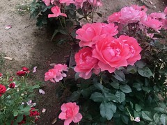 IMG_8040 (akibey) Tags: ゴテチャ 花 糸田川散歩 flower pink iphone7
