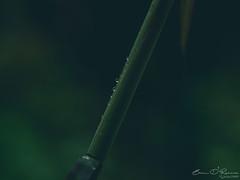 Liquid Pearls (Brian D' Rozario) Tags: brian19869 briandrozario nikon d750 macro closeup green greens greenery vegetation bamboo flora plant bokeh dof depthoffield deptoffield nature natural natgeo plantlife pearl pearls drop drops droplet droplets