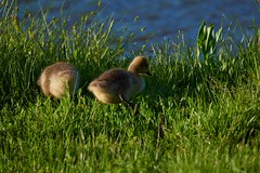 Goslings2 (cameron.tucker) Tags: gosling baby babygoose goose geese