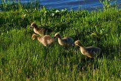 The Four Amigos (cameron.tucker) Tags: gosling baby babygoose goose geese