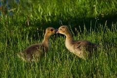 Goslings Playing2 (cameron.tucker) Tags: gosling baby babygoose goose geese