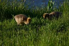 Goslings Eating2 (cameron.tucker) Tags: gosling baby babygoose goose geese