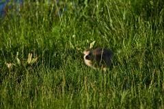 Gosling Running (cameron.tucker) Tags: gosling baby babygoose goose geese