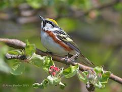 Chestnut Sided (Arvo Poolar) Tags: outdoors ontario canada scarborough scarboroughbluffs arvopoolar nature naturallight natural naturephotography nikond500 chestnutsidedwarbler bird