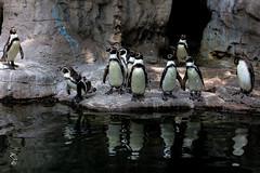 Penguin (Photo Alan) Tags: penguin zoo animal stlouise us
