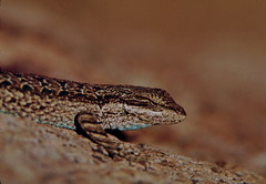 TXSkinkfm (michaelmaguire4) Tags: skink lizard