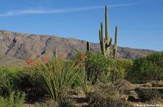 Ocotillo and Saguaro (walkerross42) Tags: ocotillo saguaro cactus rincon saguaronationalpark tucson arizona park mountains bloom blossoms flowers wildflowers shrub desert