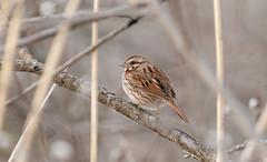 Bruant chanteur // Song Sparrow (Alexandre Légaré) Tags: bruant chanteur song sparrow melospiza melodia oiseau bird animal wildlife nature nikon nikond7500 d7500 marais realdcarbonneau sherbrooke swamp stfrancois