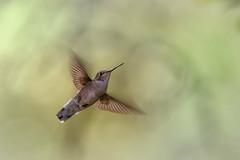 hummingbird (austindca) Tags: hummingbird bird