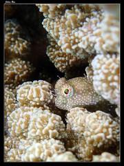 Baie des Citrons 19.05.2019 (CurLy98800) Tags: noumea baie des citrons nouvelle caledonie new caledonia snorkeling diving plonge plage lagon poisson pacific sous marine underwater crossosalarias macrospilus blennie