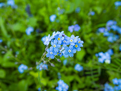 Forget-me-nots (Raoul Pop) Tags: bloom blossom blue color countryside descriptor flower forgetmenot magarei nature pelisor pfarrhaus plant saxon structure vegetal vegetation transilvania romania