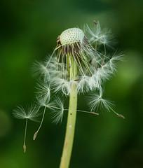 Dandelion-6209 (Geoffrey Shuen Photography) Tags: deerlake dandelion