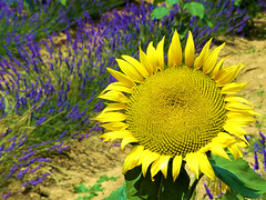 P1810183 (alainazer2) Tags: valensole provence france fiori fleurs flowers fields champs lavande lavanda lavender tournesol sunflower girasole