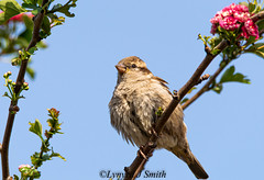 Sparrow Haw Tree (Lynyrd J Smith) Tags: sparrow tree hawthorn nature wildlife eastbourne nikon d3300 tamron 150600mm lynyrdphoto
