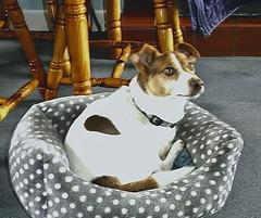 Bertie (Snapshooter46) Tags: bertie dog terrier jackrussell