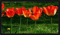 """Z albumu """"Tulipany"""" (andrzejskałuba) Tags: poland polska pieszyce dolnyśląsk silesia sudety europe plant roślina plants rośliny natura nature natural natureshot natureworld nikoncoolpixb500 macro zieleń green garden grass ogród trawa kwiat kwiaty flower flora floral flowers tulip tulipan tulipany tulips red color cień czerwony shadow spring wiosna yellow żółty beautiful beauty"""