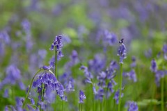 Langford Grove #7 (Future-Echoes) Tags: 4star 2019 blue bluebells bokeh depthoffield flowers langfordgrove nature spring woodland