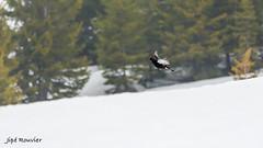 Très excité !! (Rouvier Jean Pierre) Tags: tétras lyre montagne neige oiseaux