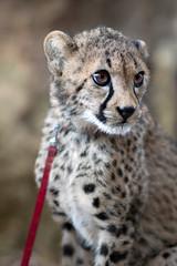 Hewa the Cheetah Cub. (LisaDiazPhotos) Tags: cheetah behind scenes hew cub lisadiazphotos sandiegozoo sandiegozooglobal sandiegozoosafaripark sdzsafaripark sdzoo sdzsp