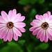 Daisy's pair