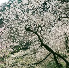18034iwaide_tomokazu04 (Tokyo Sightseeing Photo Club) Tags: 20190407 tamaforestsciencegarden sakura cherryblossoms 多摩森林科学園 桜
