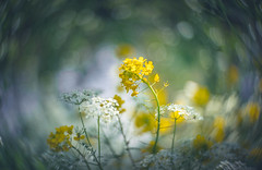 Kinon bokeh (Dhina A) Tags: sony a7rii ilce7rm2 a7r2 a7r hugo meyer kinon superior 5cm kinonsuperior5cm 50mm projection projector lens bokeh swirly manualfocus rapeseed flower yellow cow parsley