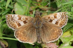 Dingy Skipper -Erynnis tages- Cerne Abbas, Dorset-160519 (5) (Ann Collier Wildlife & General Photographer) Tags: cerneabbas dorset dingyskipper erynnistages butterflies butterfliesmothsandcaterpillars insects britishwildlife britishinsects macro lepidoptera