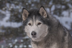 Timber (Cruzin Canines Photography) Tags: animal animals canon canoneos5ds canine canon5ds 5ds eos5ds dog dogs pet pets husky huskies alaskanhusky siberianhusky timber outdoors outside nature naturallight naturepreserve gardenofthegods colorado coloradosprings winter snow